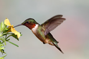 Male Ruby-throated Hummingbird (archilochus colubris) in flight with a yellow flower and a colorful background